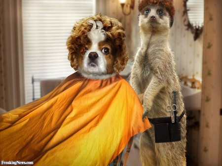 Dog-and-Meerkat-at-the-Hairdresser-105676